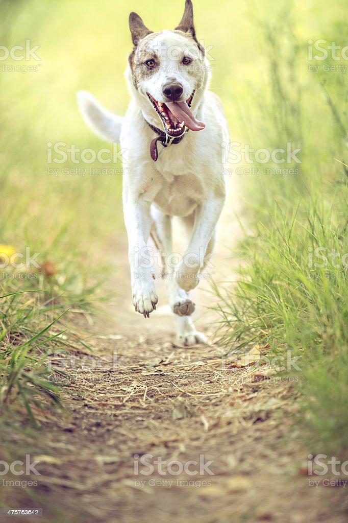 Szczęśliwy biegający pies na nature trail w kierunku kamery – zdjęcie