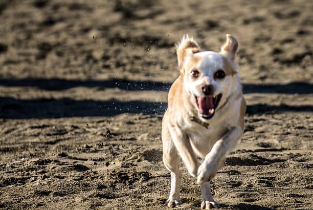 Happy dog running on the beach stock photo