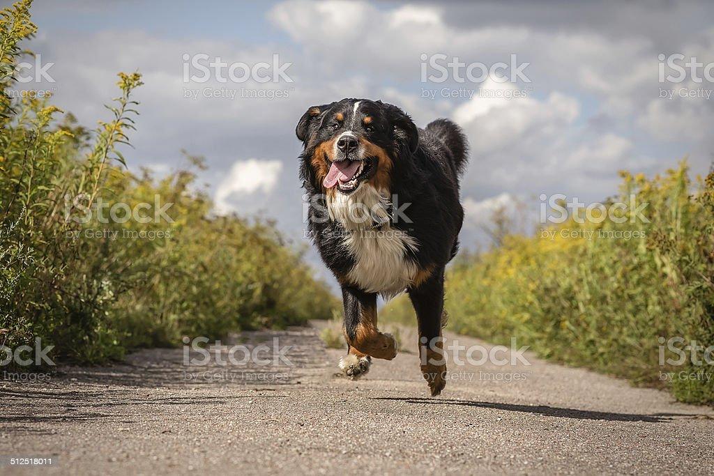 happy dog running stock photo