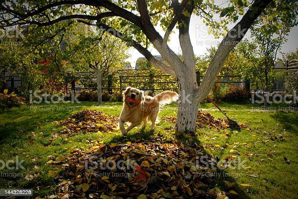Happy dog running through leaves with a toy in its mouth picture id144328228?b=1&k=6&m=144328228&s=612x612&h=wq7qqjmks32krdsy6359im5hzozhearebxuubhm0sm4=