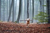 Dog in the middle of foggy forest. Happy labrador retriever running with stick in mouth.