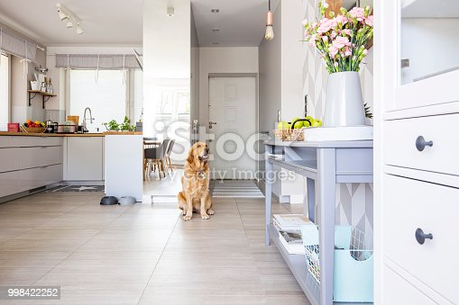 istock Happy dog sitting in open space kitchen interior in real photo w 998422252