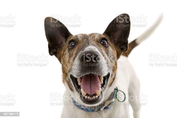 Happy dog smiling isolated picture id182188173?b=1&k=6&m=182188173&s=612x612&h=dswpeuaosu5v63cxtzoq0e3pz9mo7hwa3m8xjoafyta=