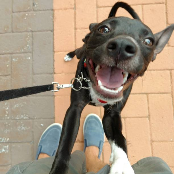 Happy dog standing up and smiling picture id895324402?b=1&k=6&m=895324402&s=612x612&w=0&h=cvovxgopewr1jmknv m1rtevb0up0gvspmflrj6emt4=