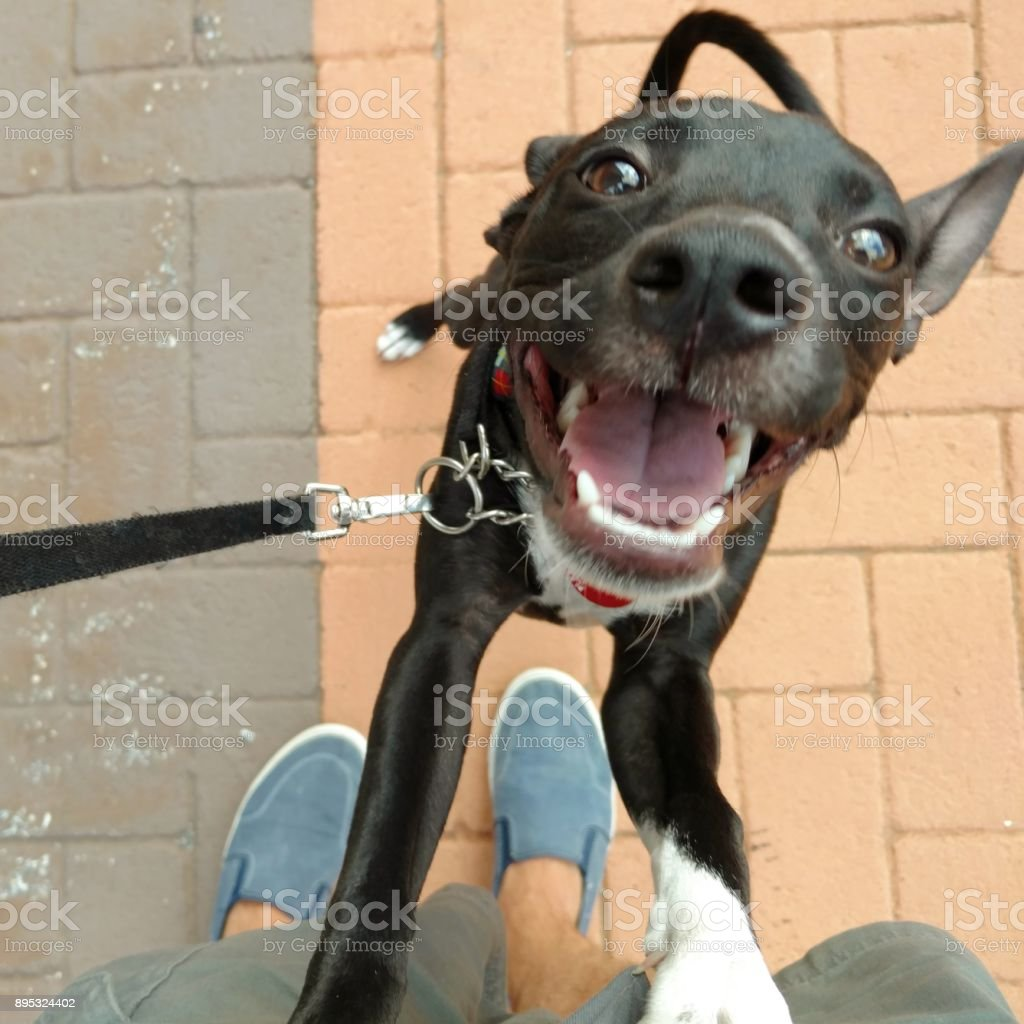 Happy Dog Standing Up and Smiling stock photo