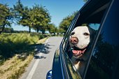 istock Happy dog travel by car 1277321583