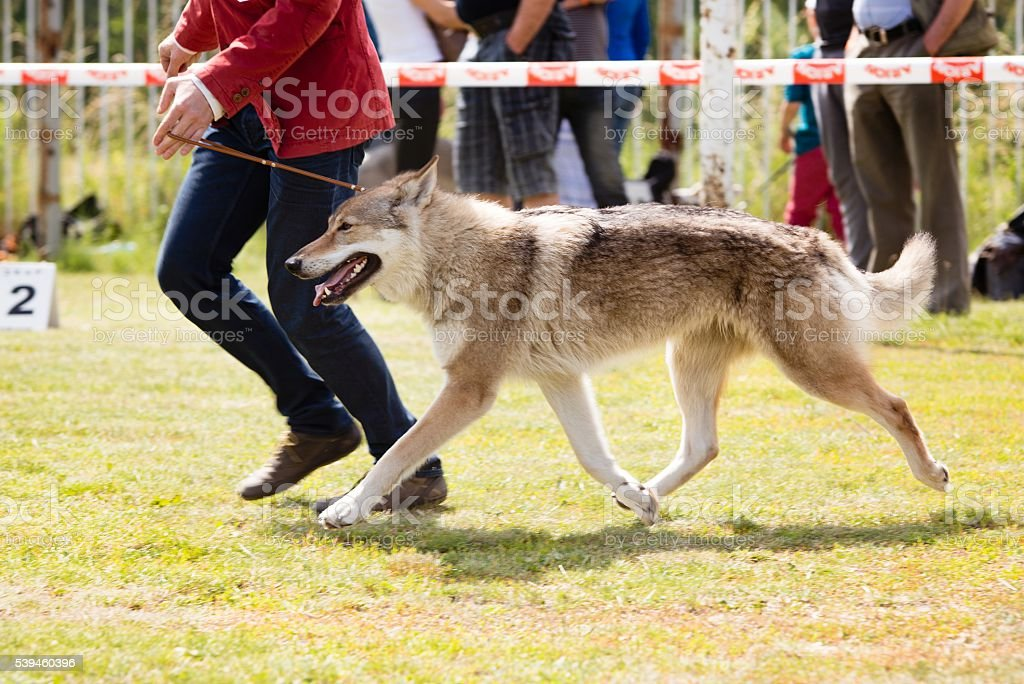 Happy dog walking with owner stock photo
