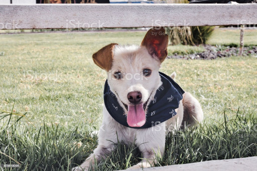 Happy dog  wearing a blue collar smiling at the camera stock photo