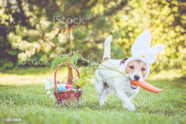 Happy dog wearing bunny ears for easter party holding large carrot in picture id1138228606?b=1&k=6&m=1138228606&s=612x612&h=0z8kvuumfqhwzviiwmtrii27yeazwyluzwcnljd0m1o=