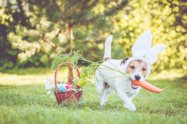 Happy dog wearing bunny ears for Easter party holding large carrot in mouth Jack Russell Terrier dog next to basket with traditional Easter symbols easter stock pictures, royalty-free photos & images