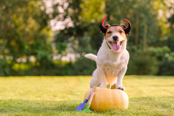 Happy dog wearing Halloween costume standing on pumpkin at lawn Jack Russell Terrier wearing devil's horns pet clothing stock pictures, royalty-free photos & images