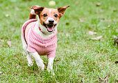 Happy dog wearing pink warm knitted sweater playing at fine fall (autumn) day