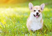 istock Happy dog Welsh Corgi Pembroke on grass in summer 474999144