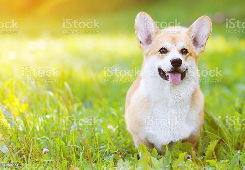 Happy dog Welsh Corgi Pembroke on grass in summer stock photo