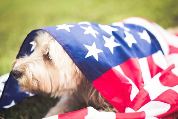 happy dog with american flag in the grass - happy 4th of july zdjęcia i obrazy z banku zdjęć