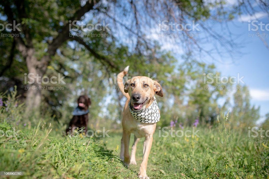Happy dog with bandana wagging tail at the dog park stock photo