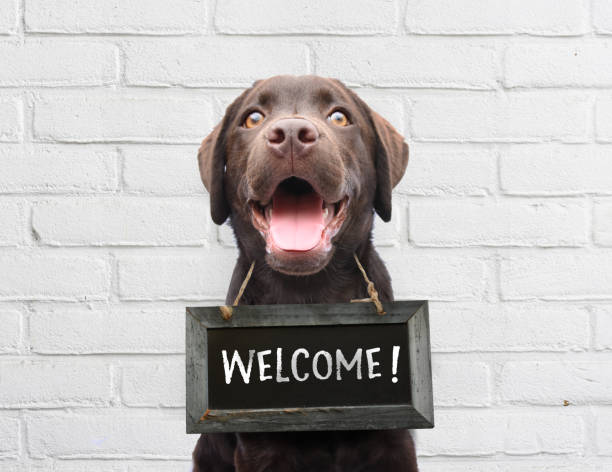 Happy dog with chalkboard with welcome text says hello welcome were open against white brick outdoor wall Happy dog with blackboard around his neck with welcome text says hello come in we are open welcome sign stock pictures, royalty-free photos & images