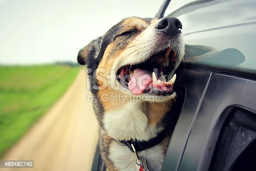 istock Happy Dog with Eyes Closed and Tongue Out Car Window 483482740