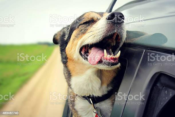 Happy dog with eyes closed and tongue out car window picture id483482740?b=1&k=6&m=483482740&s=612x612&h=7bzne0v v kwsv4emfb5onti2xigqke360uro0awy o=