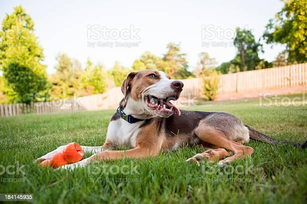 Happy dog with his toy picture id184145935?b=1&k=6&m=184145935&s=612x612&h=5e4jyryeyjz gl3mhrmmwkdwdf6 l4z7kv5dzjm3tmw=