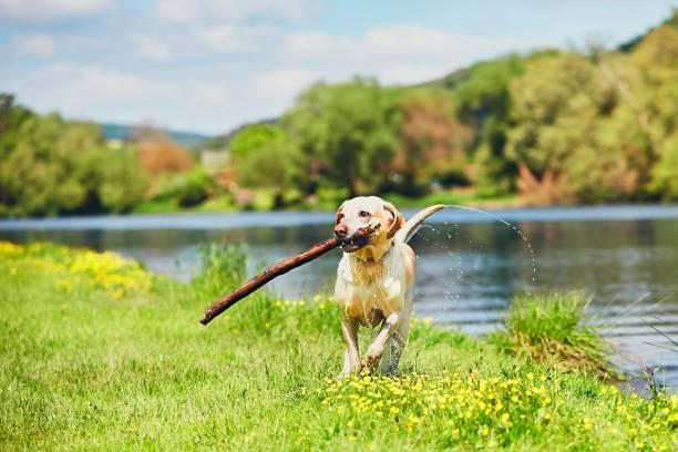 Happy dog with stick picture id689323770?b=1&k=6&m=689323770&s=612x612&w=0&h=b  ovvd5pbt0qstxgol4z9q7ivvcjrm dfchvdvr1ng=