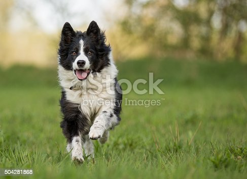 Elder but busy Border Collie running towards camera, with Paw in the air and snout open.