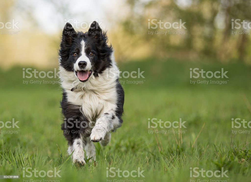 Happy dog,Border Collie, running and having fun. stock photo
