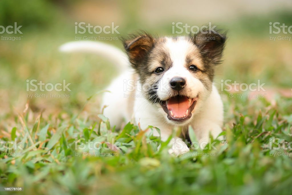 Happy Doggy Fast Running On Grass stock photo