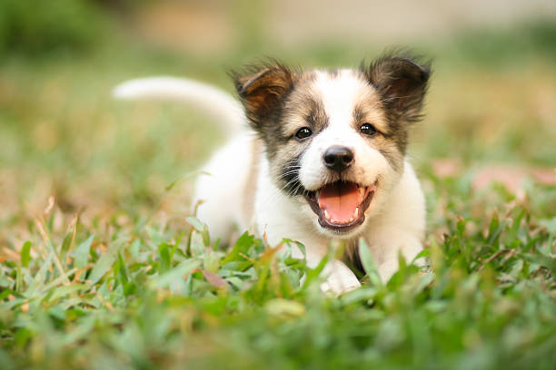 happy doggy fast running on grass - puppy stock pictures, royalty-free photos & images