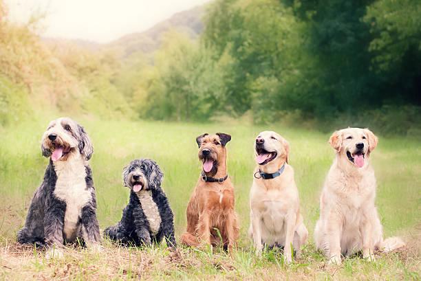 happy dogs at dog school - safkan köpek stok fotoğraflar ve resimler