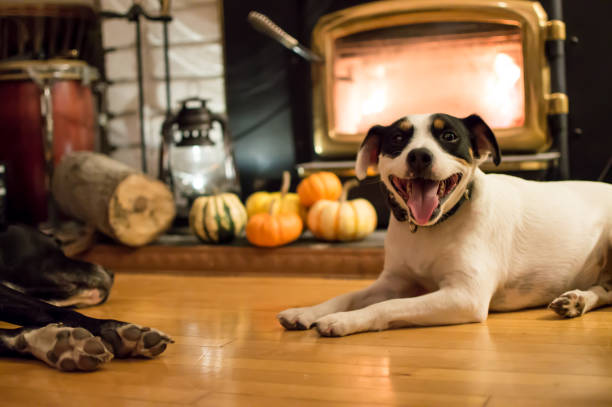 Happy Dogs near fireplace in autumn with Thanksgiving pumpkins in background stock photo
