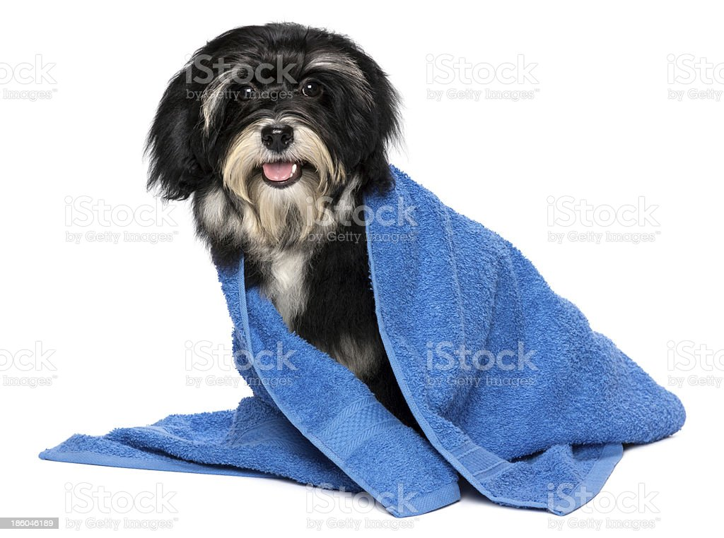 Happy dry havanese puppy after bath in a blue towel stock photo