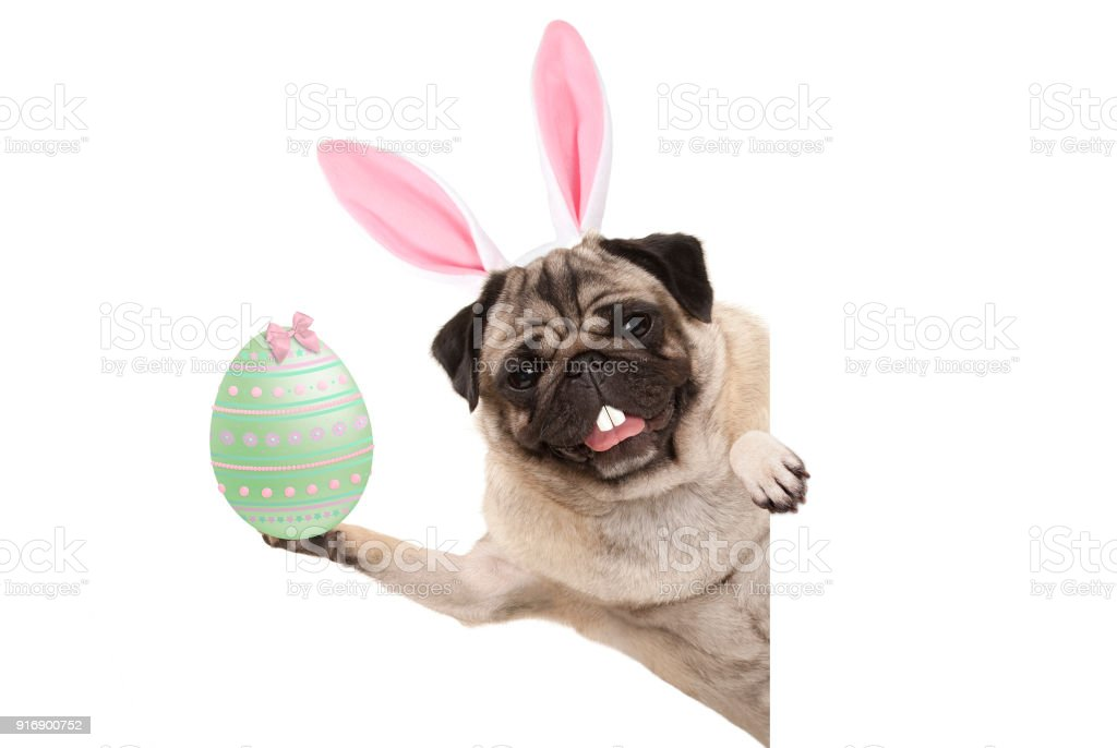 Happy Easter bunny pug hond met bunny tanden en pastel groen Paasei foto