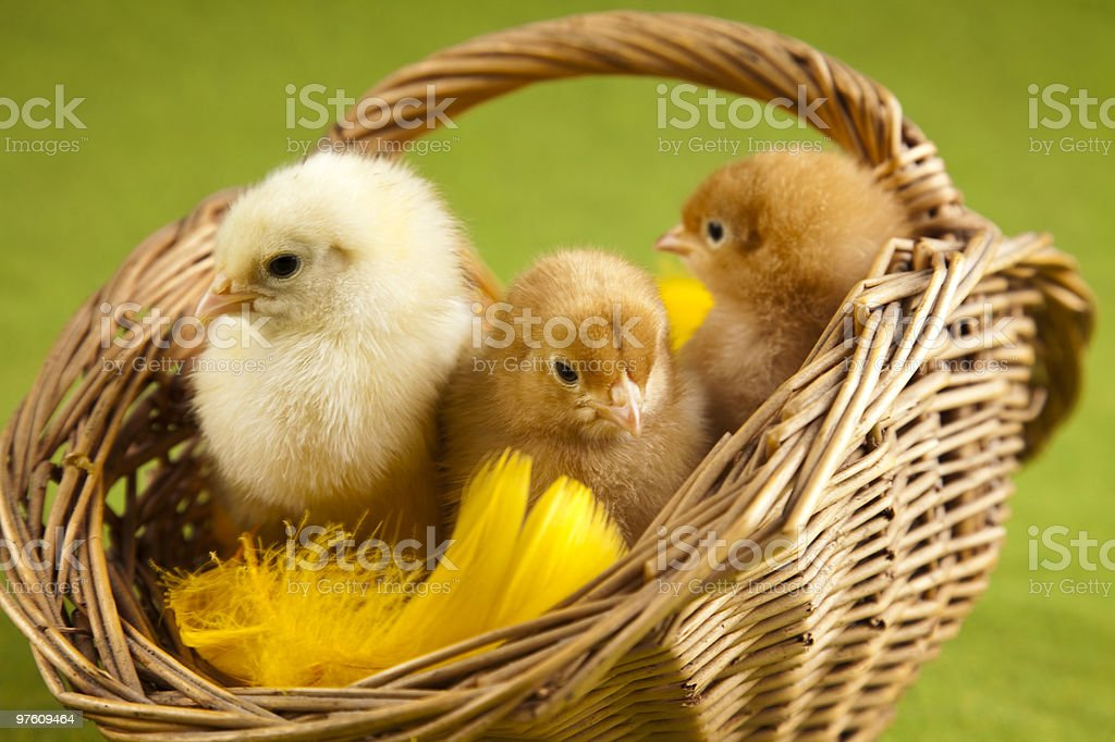 Happy Easter. Chickens in basket royalty-free stock photo