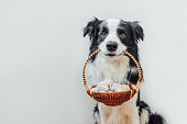 istock Happy Easter concept. Preparation for holiday. Cute puppy dog border collie holding basket with Easter colorful eggs in mouth isolated on white background. Spring greeting card 1302412371