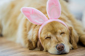 A happy golden labrador naps on the floor while wearing a pair of pink bunny ears for Easter.