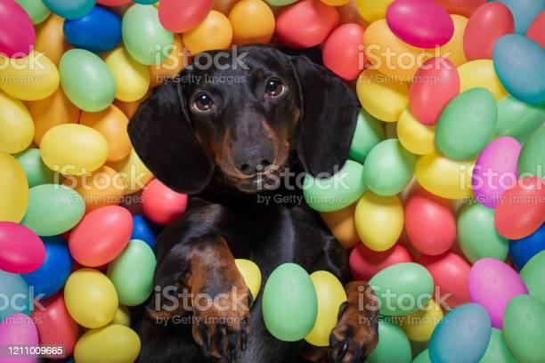 Happy easter dog with eggs picture id1211009665?b=1&k=6&m=1211009665&s=612x612&h=3u2goc2 wdogx buxb7emcz4wim7pcodf08tuip9amg=