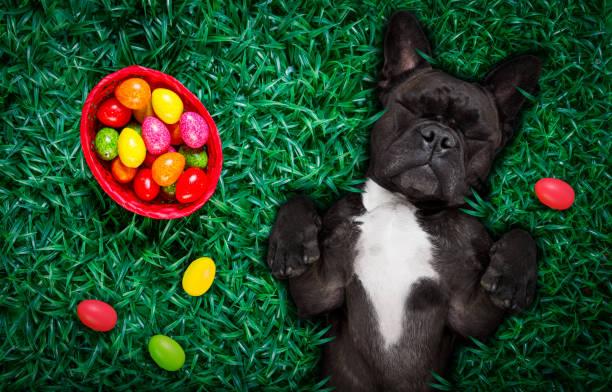 happy easter-hund mit eiern - faschingssprüche stock-fotos und bilder
