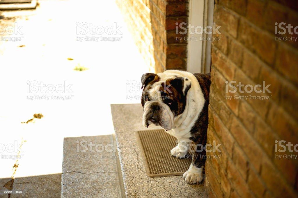 Happy English Bulldog stock photo