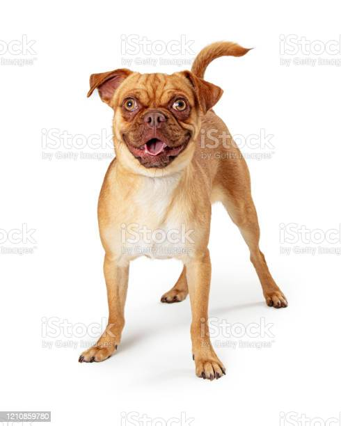 Happy excited pug chihuahua crossbreed picture id1210859780?b=1&k=6&m=1210859780&s=612x612&h=6zdgjc1jmp9yjvp3wexk z2ktt2ufk t6wtzj3yeb0w=