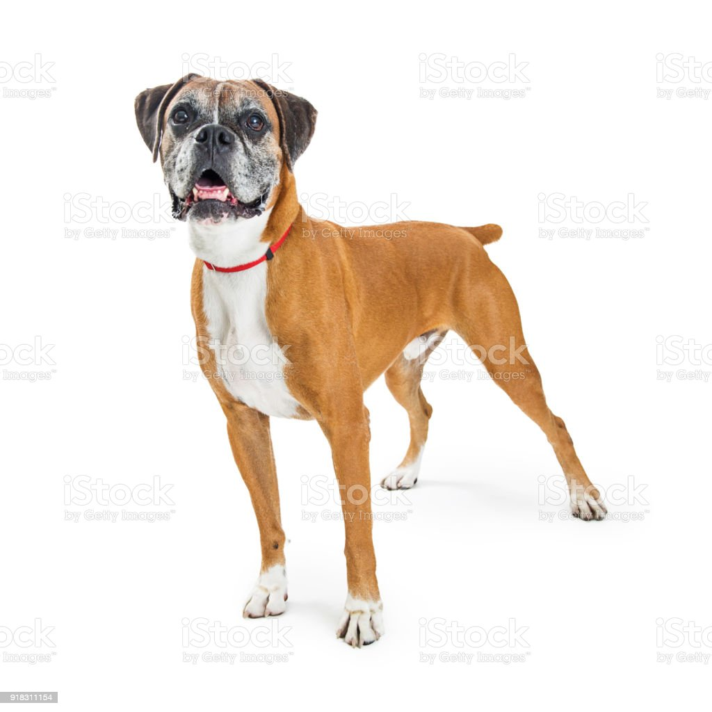 Happy Excited Standing Boxer Dog Stock Photo & More Pictures of ...