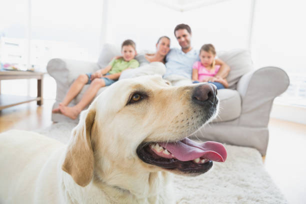 Happy family sitting on couch with their pet yellow labrador in picture id691811530?b=1&k=6&m=691811530&s=612x612&w=0&h=kzaemvqrd37jphe sxye vusr7mkq8tf 2cpfjd4yjk=