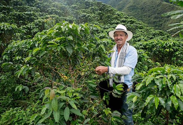 happy farmer harvesting colombian coffee - coffee farmer foto e immagini stock