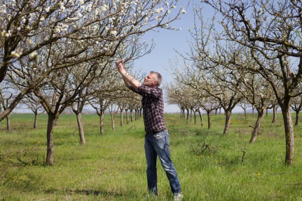 glückliche bauer in seinen blühenden pflaumenbaum obstgarten inspektion von blüten und knospen - pflaumen jeans stock-fotos und bilder