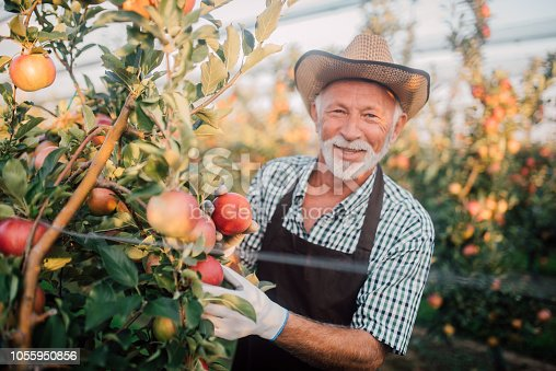 1056015258 istock photo Happy farmer picking up apples 1055950856