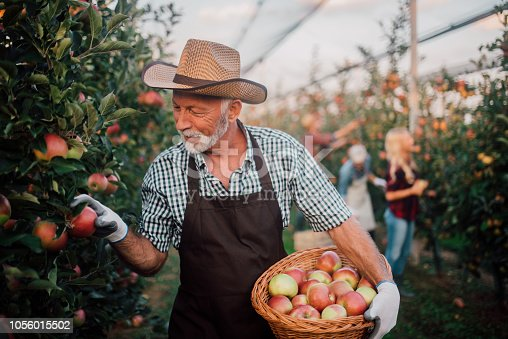 1056015258 istock photo Happy farmer picking up apples 1056015502