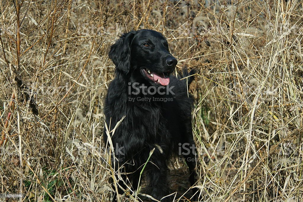 Happy Flat coat stock photo