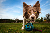 istock Happy focussed red and white border collie present ball to play 1213516254