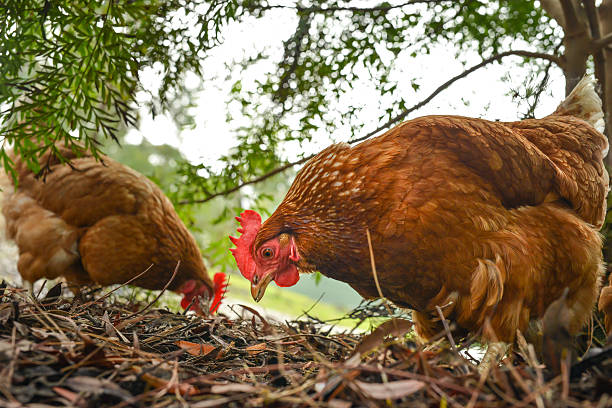Happy free range chickens stock photo