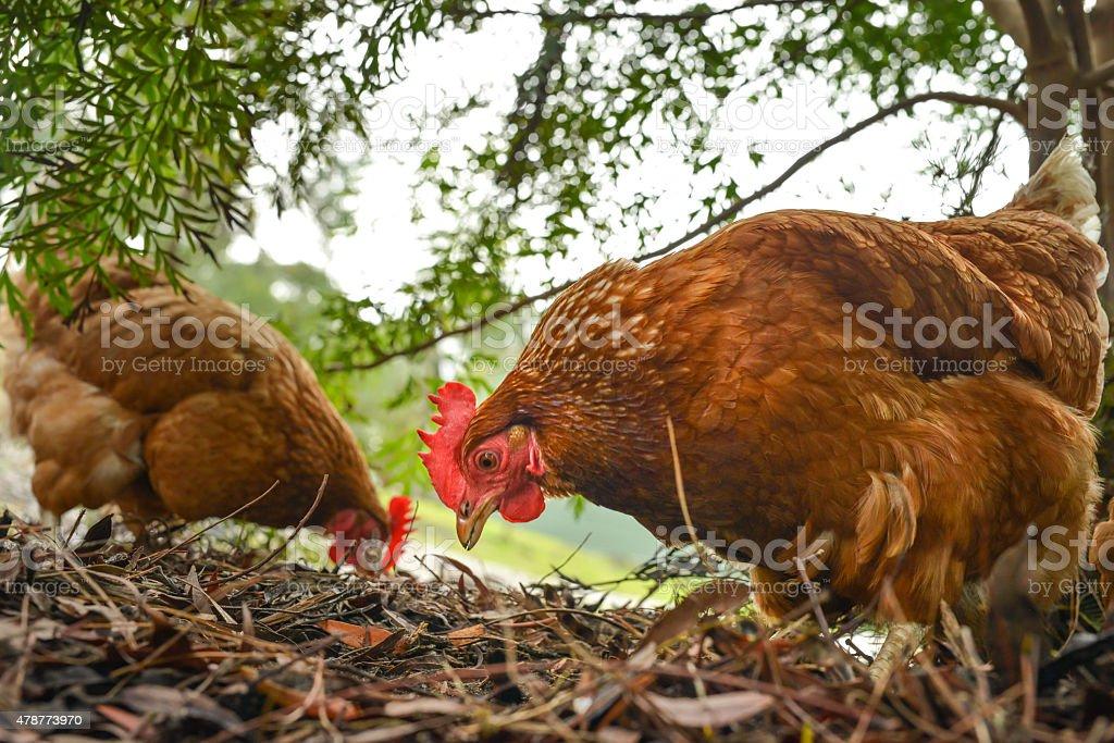 Glückliche Freiland-Hühnchen – Foto
